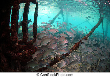 Underwater Mangrove snapper fish - School of mangrove...