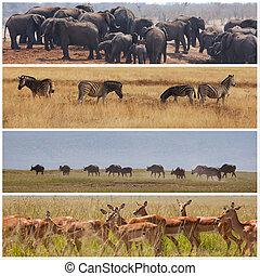 Safari - african safari in Etosha,Namibia