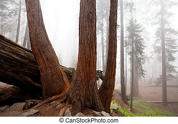 Sequoya - sequoia forest in fog