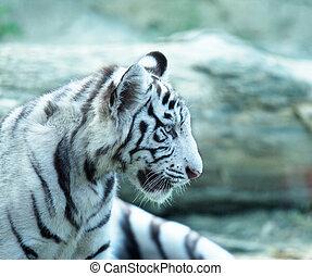 Small tiger - baby tiger