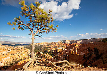 Pine in Bryce canyon - Bryce Canyon