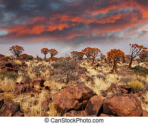 Quiwer tree - Quiver tree in Namibia, Africa