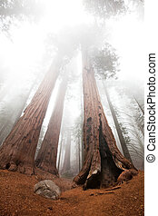 Seqouya - Sequoia National Park in USA