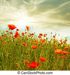 Red poppy - red poppies in green field