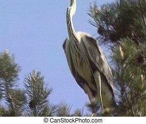 Grey Heron Ardea cinerea in nest. Vanishing protected bird...
