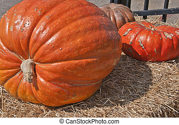 Giant Pumpkin - One giant Halloween Pumking in front of two...