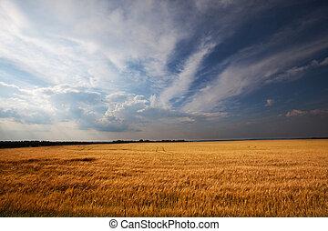 Wheat field - Rain above wheat field