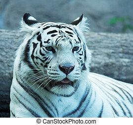 White tiger - Silver tiger