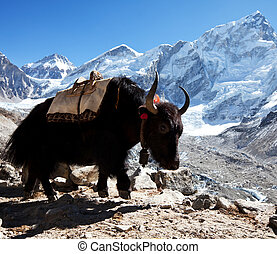 Yak - yak in Himalaya