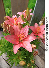 Asiatic lily - Asiatic Lily with blooms and buds on a wooden...