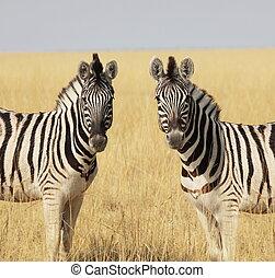 Zebra - zebras