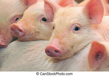 Pigs who are photographed on one of farms