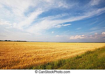 Wheat field - wheat field