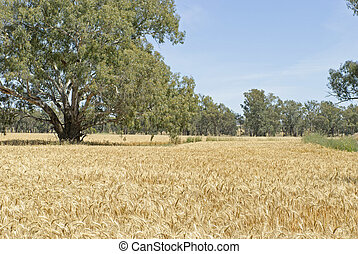 agriculture - a healthy wheat crop in a farm paddock