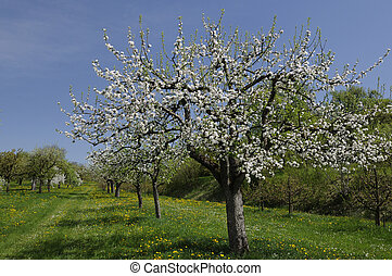 blossoming orchard 1, baden - blossoming organic fruit trees...