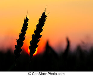 Wheat silhouette in field, sundown