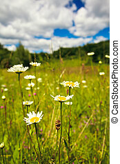 Ox-eye and sky - Ox-eye daisies in the meadow and deep blue...