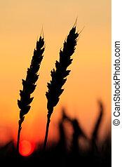 Wheat silhouette in field, sundown