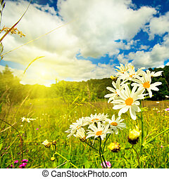 Ox-eye sun in sky - Ox-eye daisies in the meadow and deep...