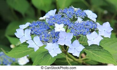 hydrangea - I took the hydrangea which shook for wind.