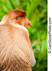 Proboscis monkey - Back view of male proboscis monkey