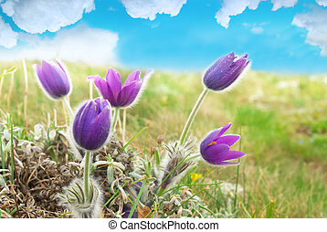 Flowers Pasqueflower (Pulsatilla patens) - Pasqueflowers...