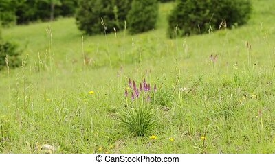 wild orchids - wild orchid in Germany
