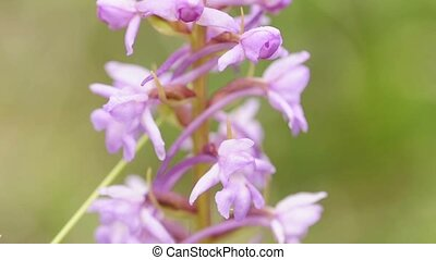 wild orchid in Germany