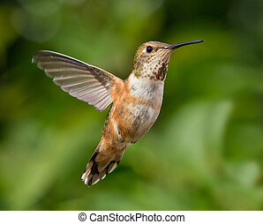 Hummingbird in flight - Humming flying with natural green...