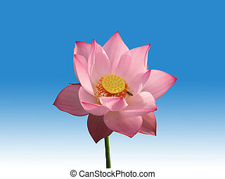 lotus flower - Pink lotus flower isolated on blue and white...