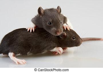 実験室, ネズミ