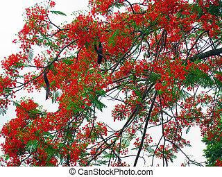 flowers on poinciana tree - beautiful, vibrant flowers on...