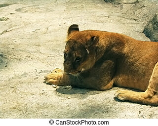 Lioness resting - a female lion resting while chewing on a...