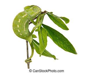 camaleão, ramo