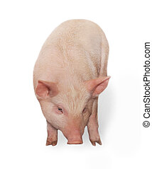 Pig - Small thick pig who is represented on a white...