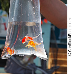 Goldfish Prize In Bag - Three goldfish swim in a plastic bag...