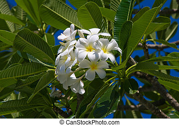 White Frangipani flower at full bloom during summer (plumeria)