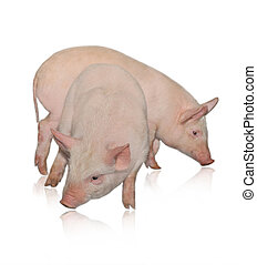 Two pigs who are represented on a white background