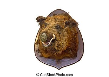 wild boar head on wall - dissected wild boar head trophy on...