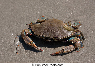 Blue Claw Crab on the beach