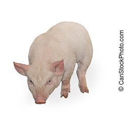 Pig - Small pig who is represented on a white background