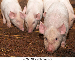 young pigs who with watchfulness look