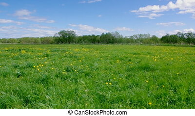 Field of dandelions,blue sky and su