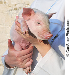 Pig in female hands - Pig who is in female hands
