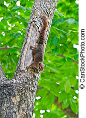 Red squirrel on the tree - The scientific name of red...