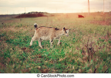 goat - on a green meadow the goat is grazed