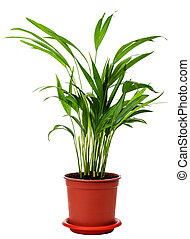 houseplant Areca is isolated on a white background