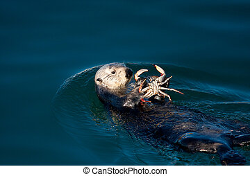 Sea Otter eating a crab in Morro Bay