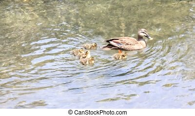 mother and child of the duck - I took it when the mother and...