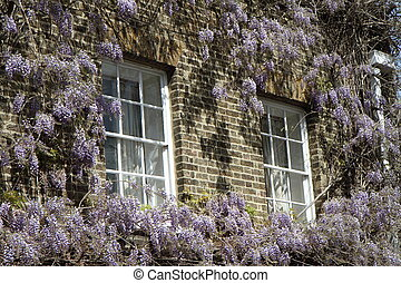 Wisteria growing on a wall of a building